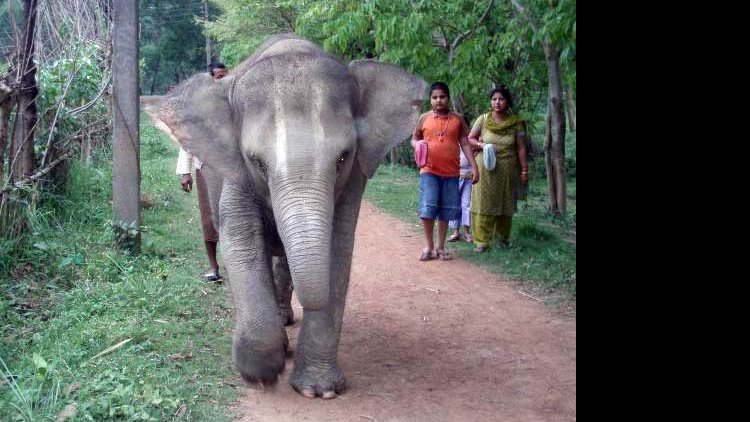 ISKCON News: New Elephant Packs Her Trunk for ISKCON Mayapur [Article]